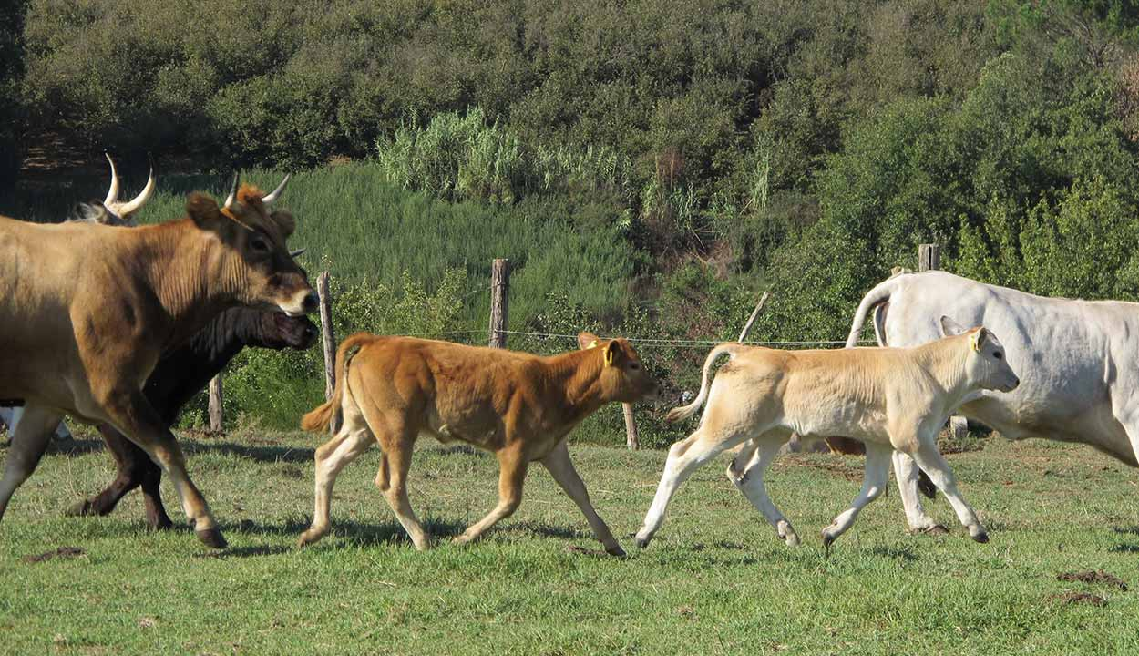 mucche_gitaFaraoni